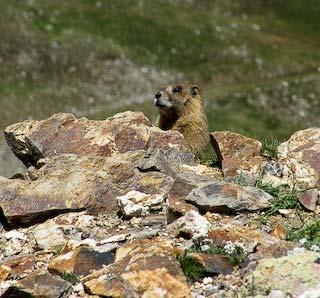 attentive marmot by rock