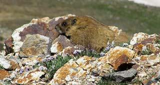 marmot lying on rock